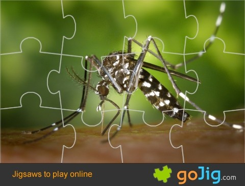 Jigsaw : Tiger Mosquito