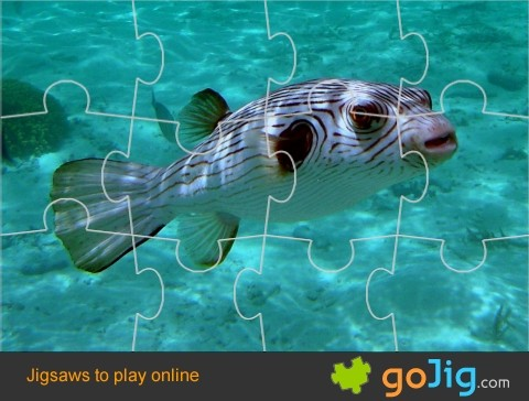 Jigsaw : Narrow Lined Puffer Fish