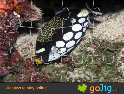 Jigsaw : Clown Triggerfish