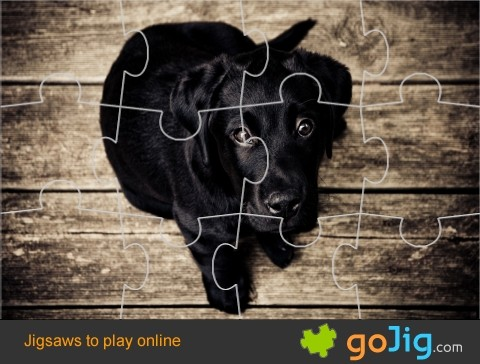 Jigsaw : Black Labrador Puppy