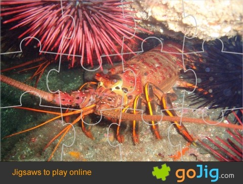 Jigsaw : Spiny Lobster