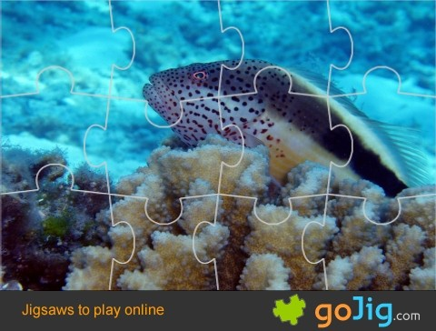 Jigsaw : Blackside Hawkfish