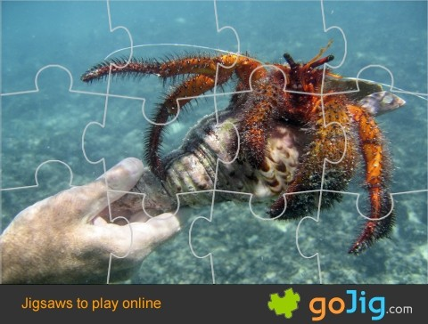 Jigsaw : Large Hermit Crab