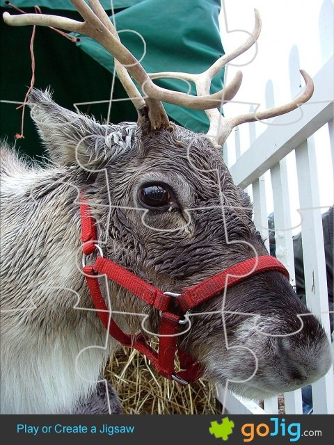 Jigsaw : Reindeer Up Close