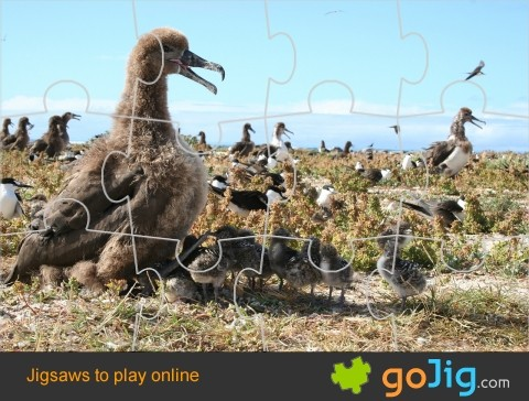 Jigsaw : Albatross and her Young
