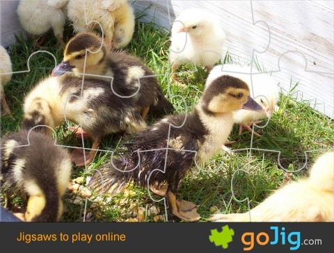 Jigsaw : Young Ducklings