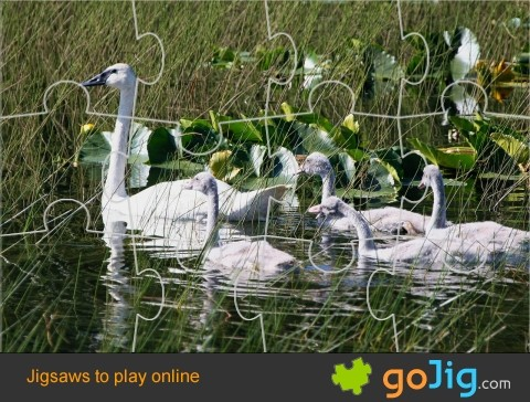 Jigsaw : Swans on Water