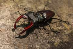 Jigsaw : Stag Beetle
