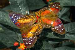 Jigsaw : Pair of Butterflies