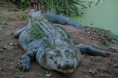 Jigsaw : Crocodile out of Water